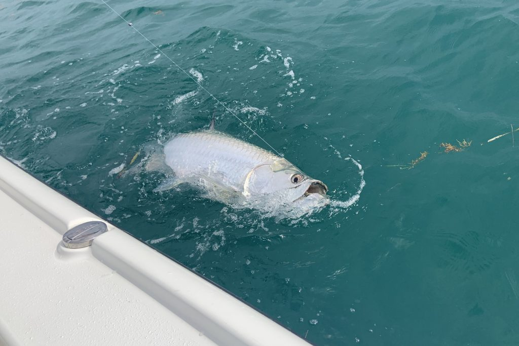 A Tarpon swimming alongside a boat after being hooked by an angler