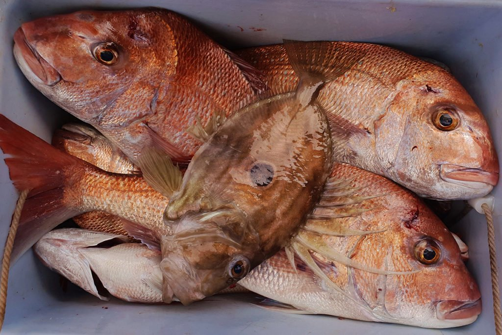 A chilly bin full of Snapper and other fish