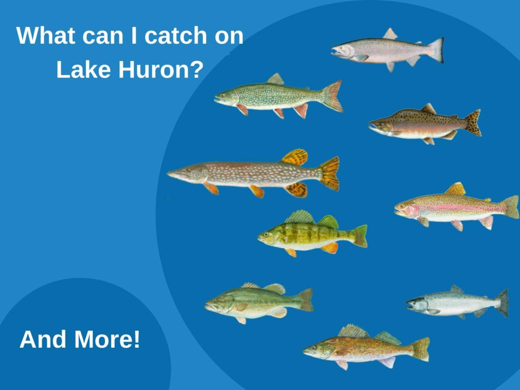 An infographic showing top fish species to target on Lake Huron, including Lake Trout, Salmon, Pike, Perch, and Walleye