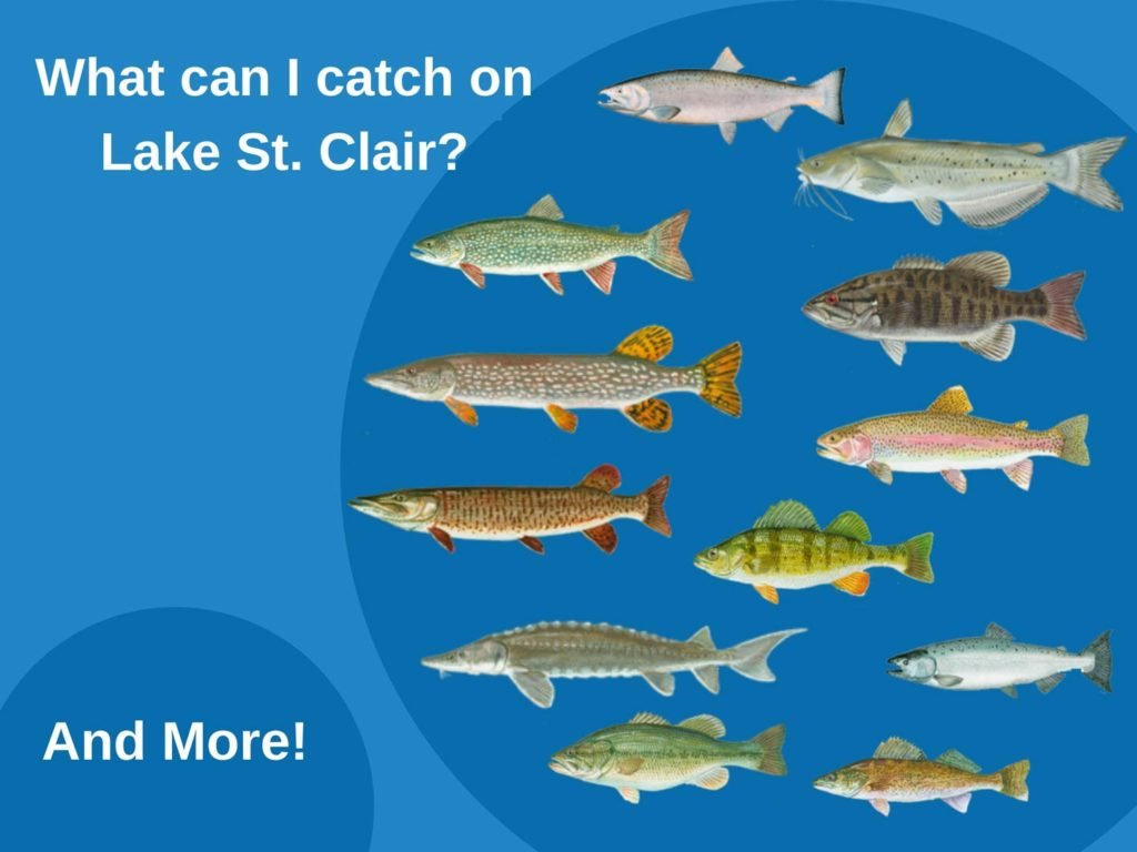 An infographic showing the top fish species to target on Lake St. Clair including Bass, Musky, Walleye, Pike, Sturgeon, Perch, and Trout