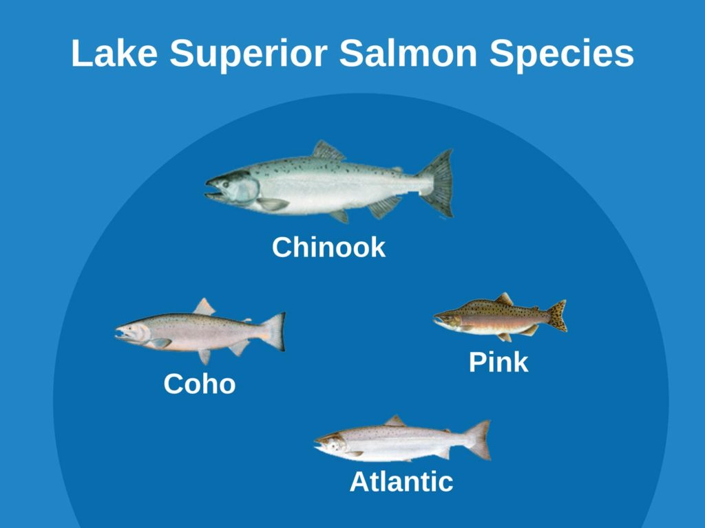 An infographic showing types of Salmon on Lake Superior, including Chinook, Coho, Atlantic, and Pink Salmon