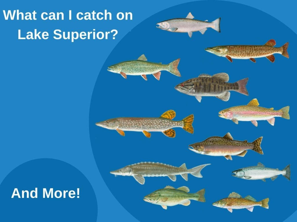 An infographic showing the top fish species on Lake Superior, including Walleye, Pike, Salmon, Trout, and Bass