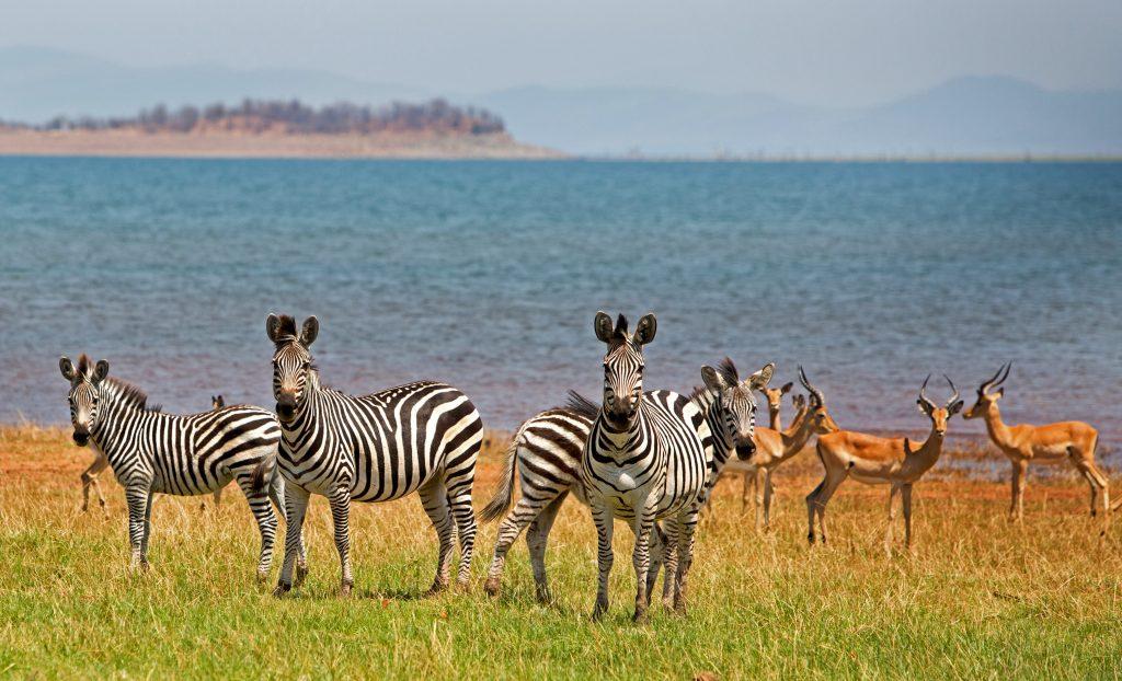 zebras standing in front of the Lake Kariba in Zimbabwe