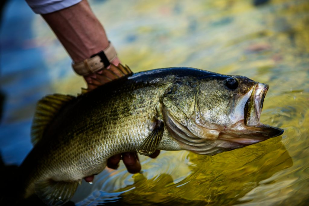A largemouth bass being released into the water after being caught