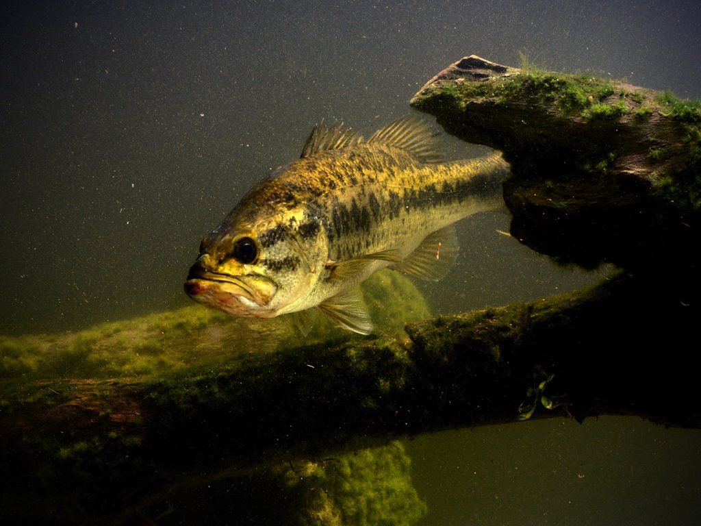 A Largemouth Bass swimming next to a branch underwater