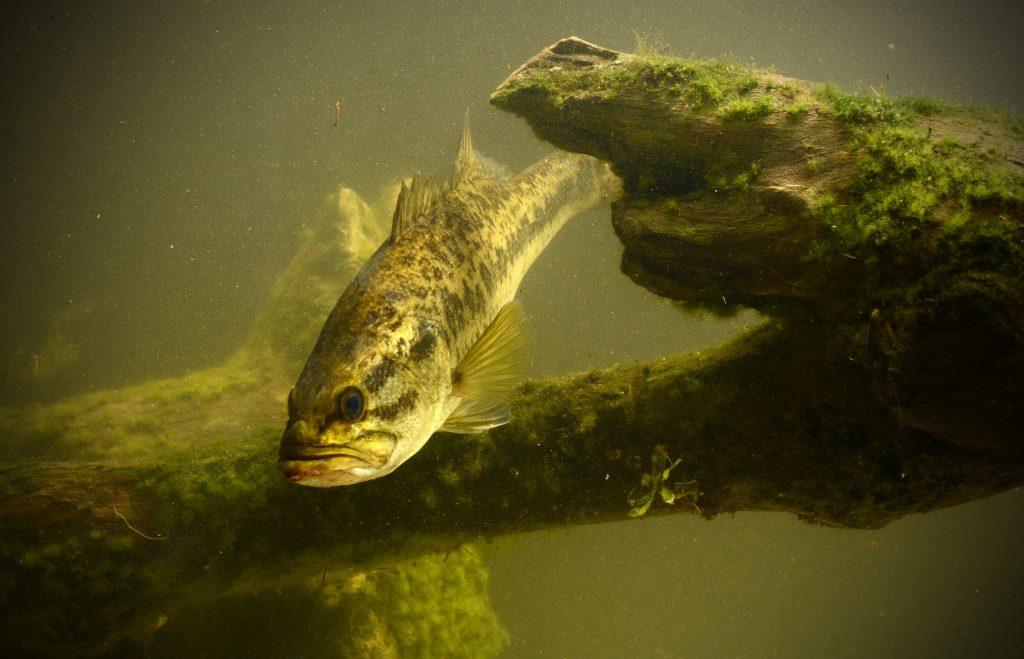 A Largemouth Bass swimming next to a sunken log