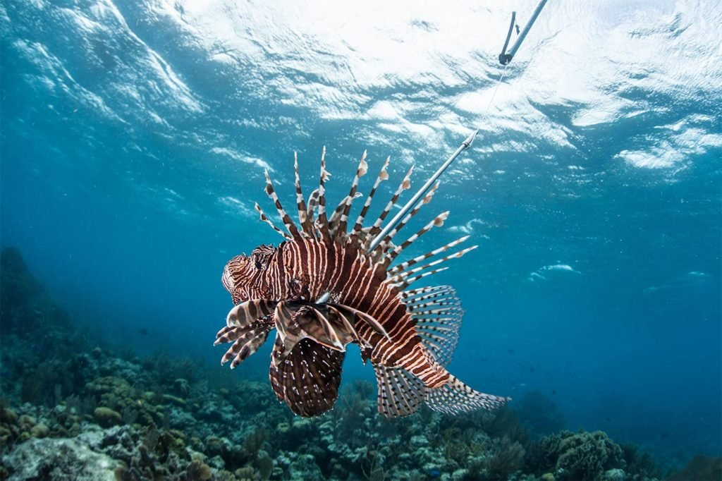 A Lionfish with a spear through it in Belize