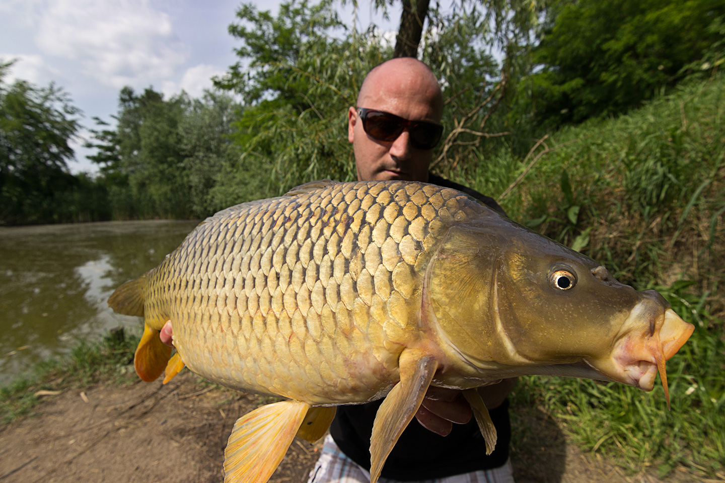 An anglers holding a large specimen Carp on a river bank