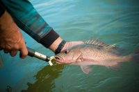 Mangrove Snapper being released into the water after fish tagging