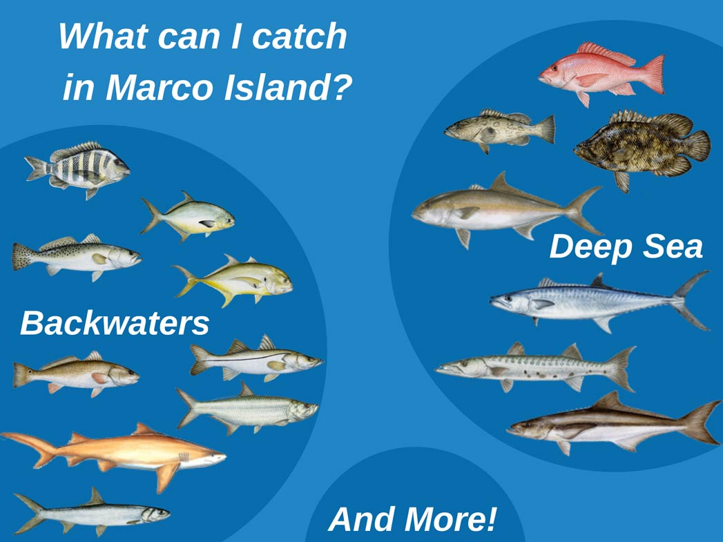 An infographic showing the top catches in Marco Island, covering the backwaters and deep sea fishing. Common catches are Sheepshead, Pompano, Jack Crevalle, Snook, Redfish, Spotted Seatrout, Tarpon, Red Snapper, Tripletail, Cobia, Amberjack, King Mackerel, Sharks, and Barracuda