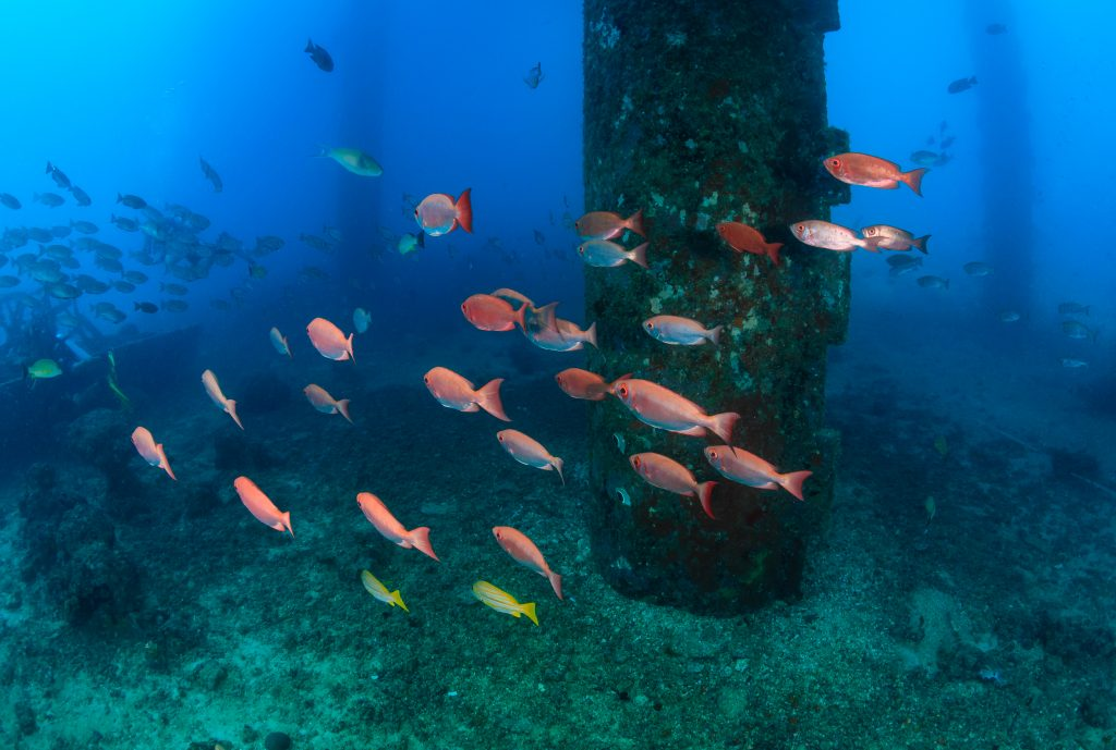 A school of Vermilion Snapper swimming around the base of an offshore oil jacket