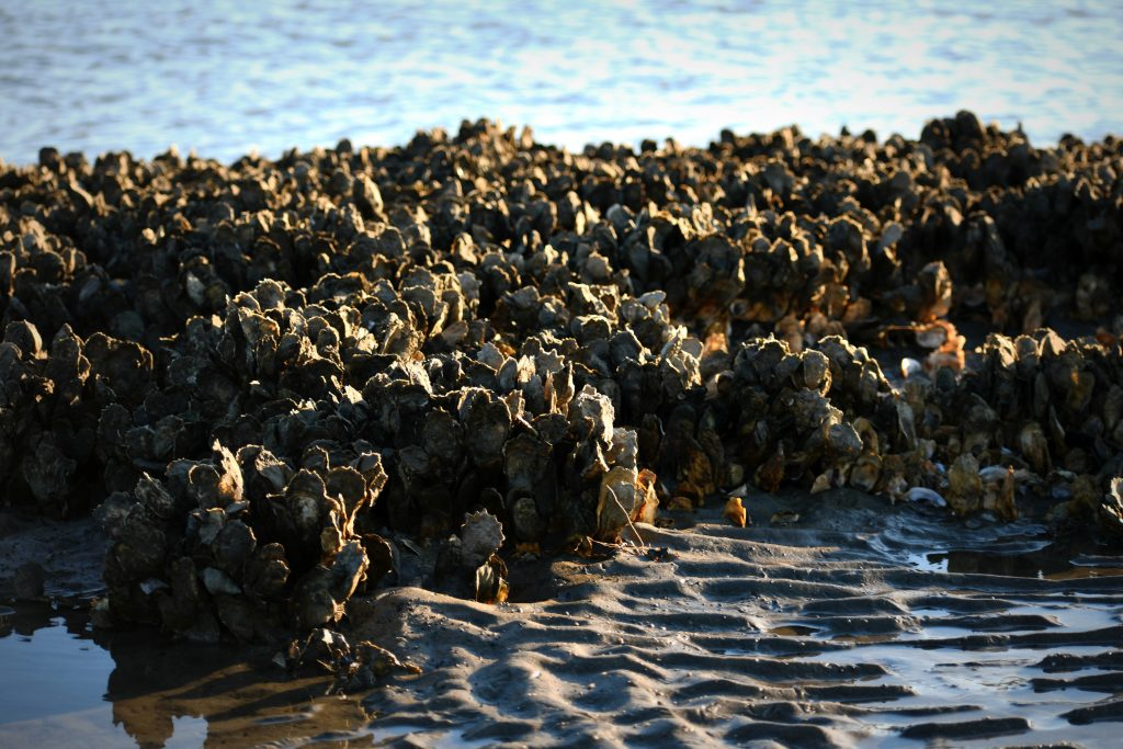 A rock in shallow water covered in wild oysters