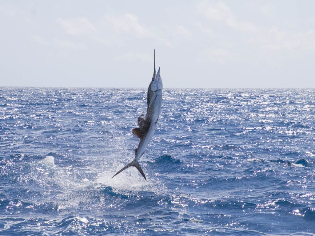 A Sailfish jumping out of the water