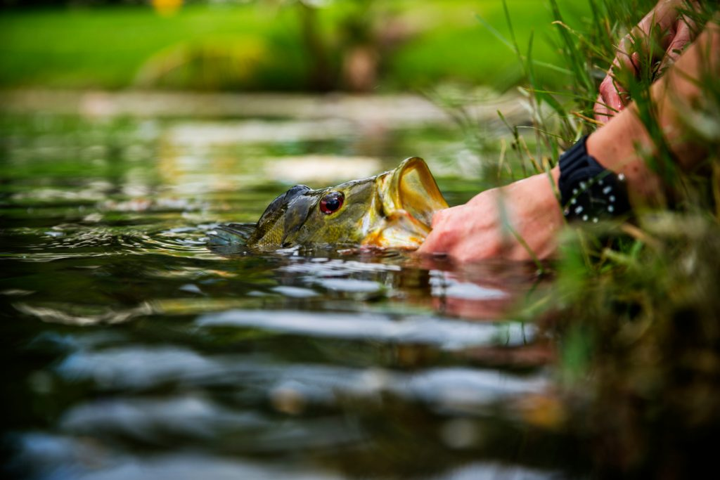an angler releasing a peacock bass into water