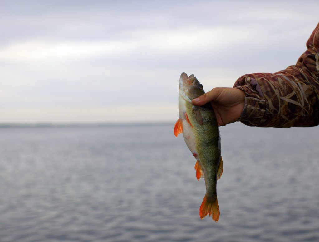 An angler holding a Perch with water in the background