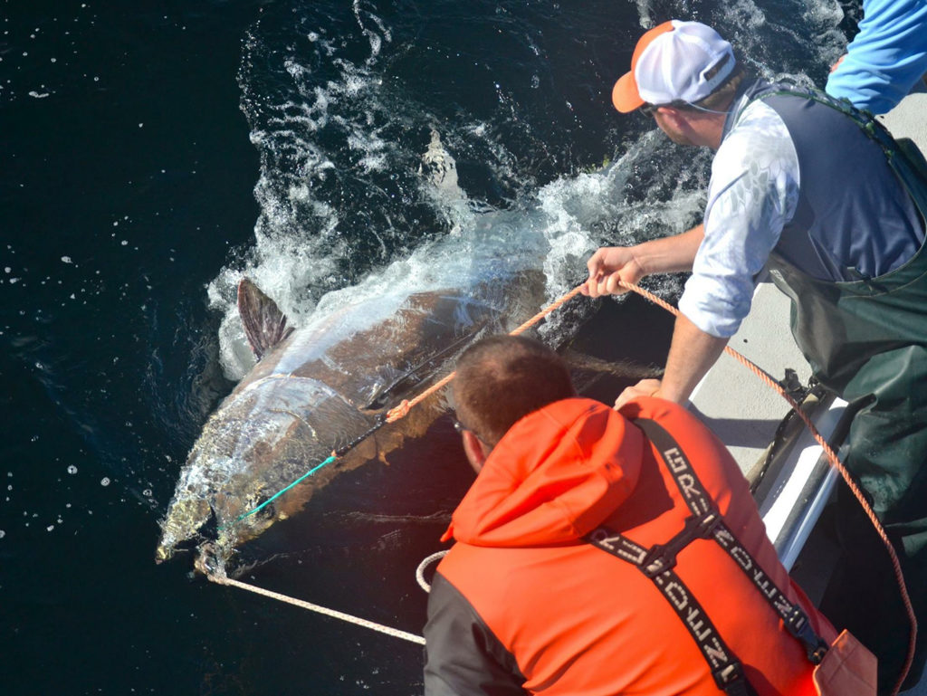 Two fishermen bringing a giant Bluefin Tuna alongside the boat in order to release it
