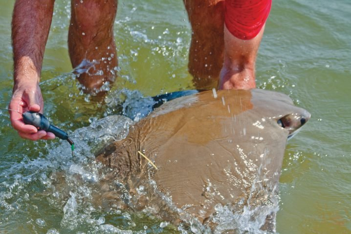 Man in red shirt releasing a Ray into the water with a PSAT fish tag attached