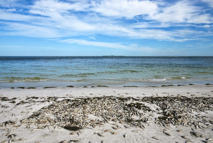 A beach and sea covered in dead fish killed by Florida red tide