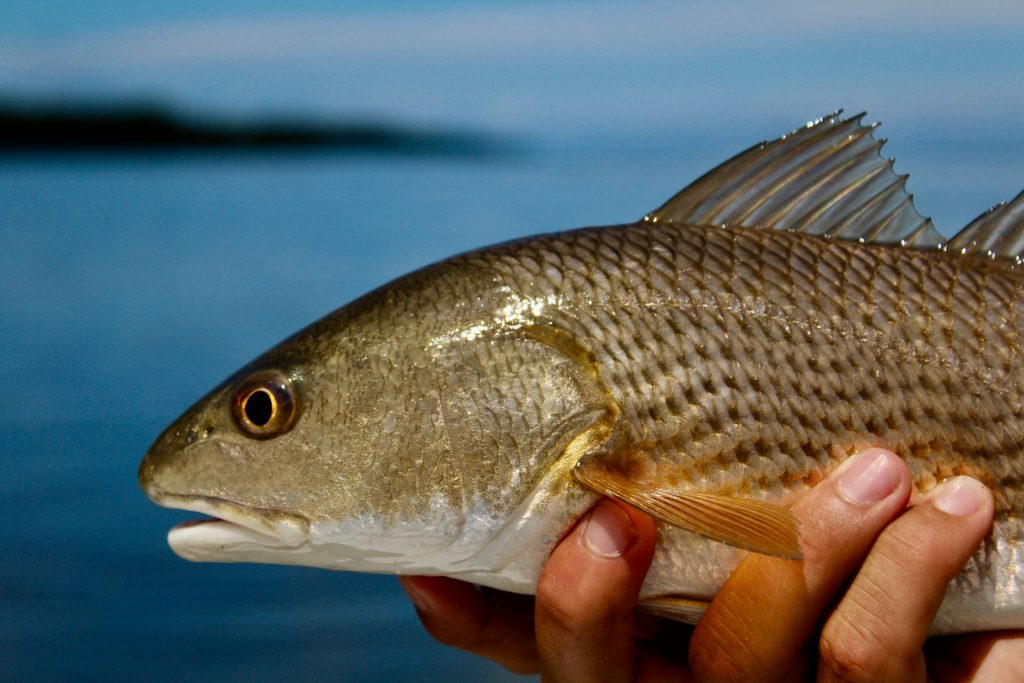 An angler holding a redfish.