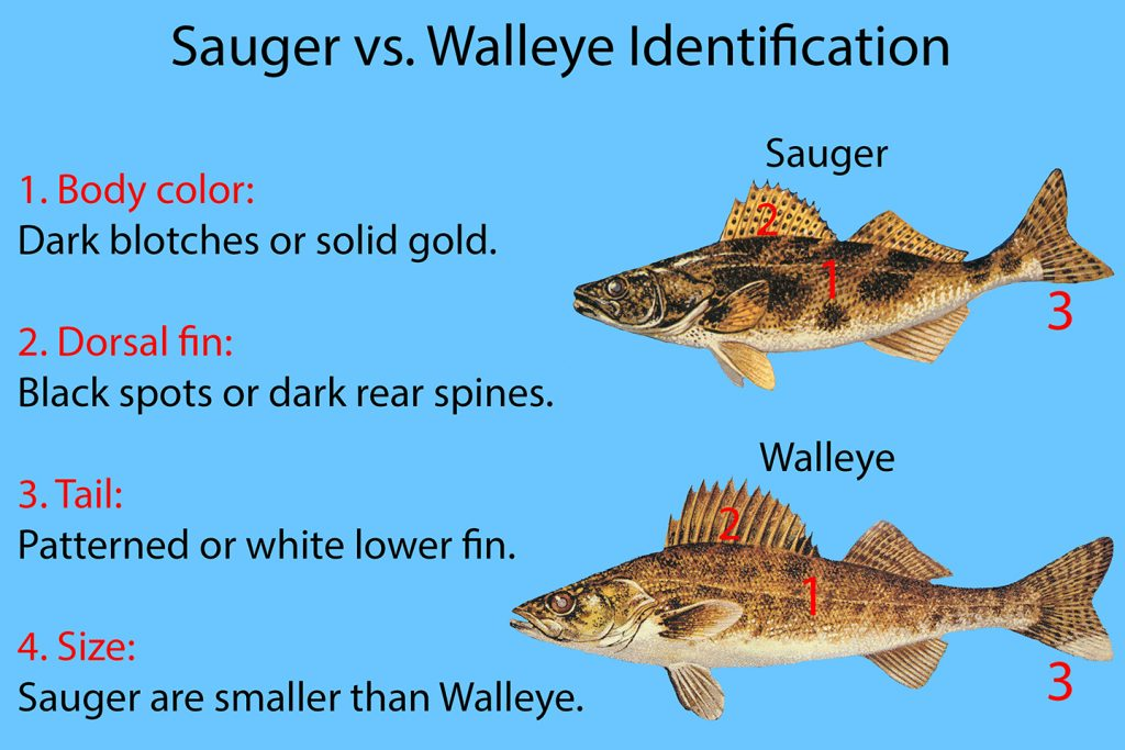"A chart showing how to identify Sauger vs. Walleye. Illustrations of Sauger and Walleye are shown on the right, with text on the left explaining how they are different. The text reads ""1. Body color: Dark blotches or solid gold. 2. Dorsal Fin: Black spots or dark read spines. 3. Tail: Patterned or white lower fin. 4. Size: Sauger are smaller than Walleye."""