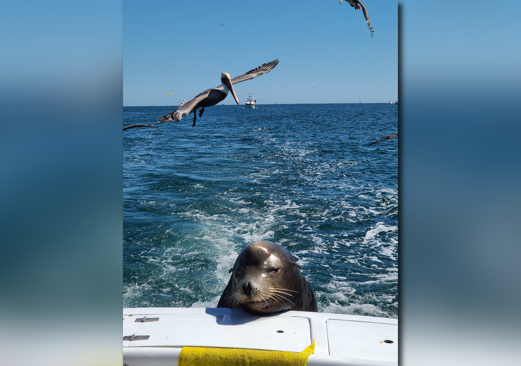a picture showing a seal leaning on a fishing boat with pelicans flying overhead and the sea in the background