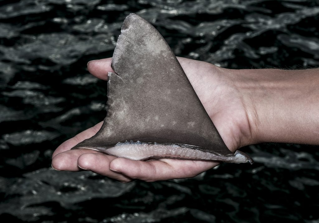 A hand holding a severed shark fin over water