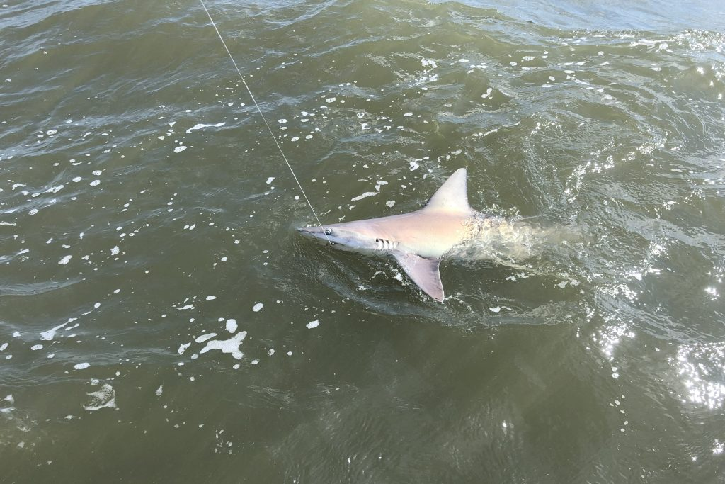 A Shark with a fishing hook in its mouth