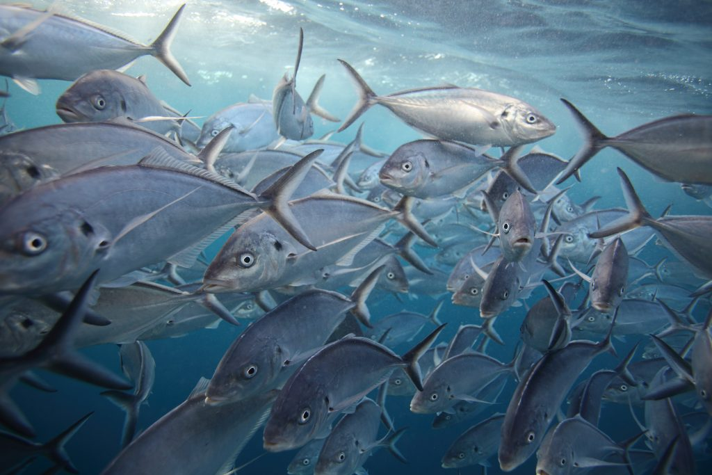 A school of Silver Trevally swimming underwater