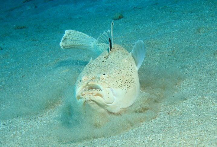 Northern Stargazer fish swimming along the sea floor