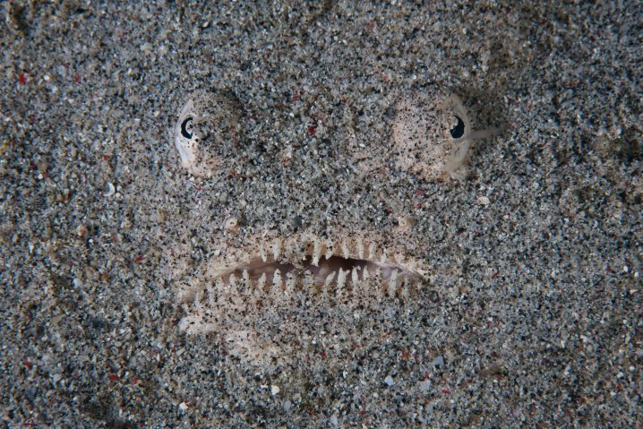 Northern Stargazer face staring out of the sand