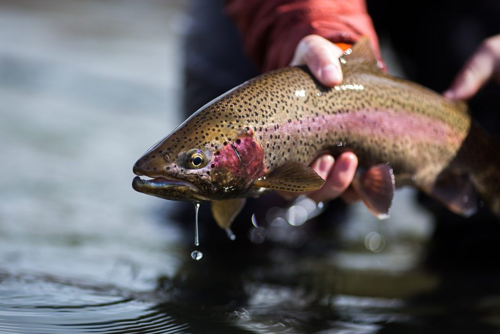 An angler releasing a Steelhead Trout into the water