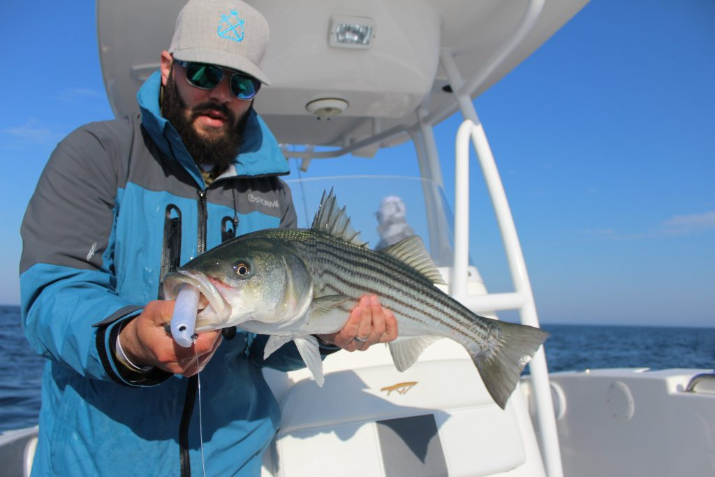 An angler holding a Striped Bass on a charter fishing boat