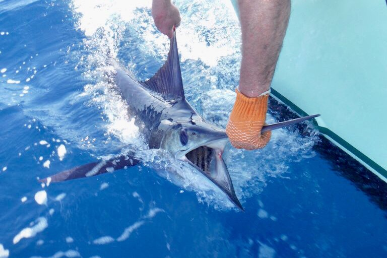 A Striped Marlin being in the process of being released off the side of a charter boat.