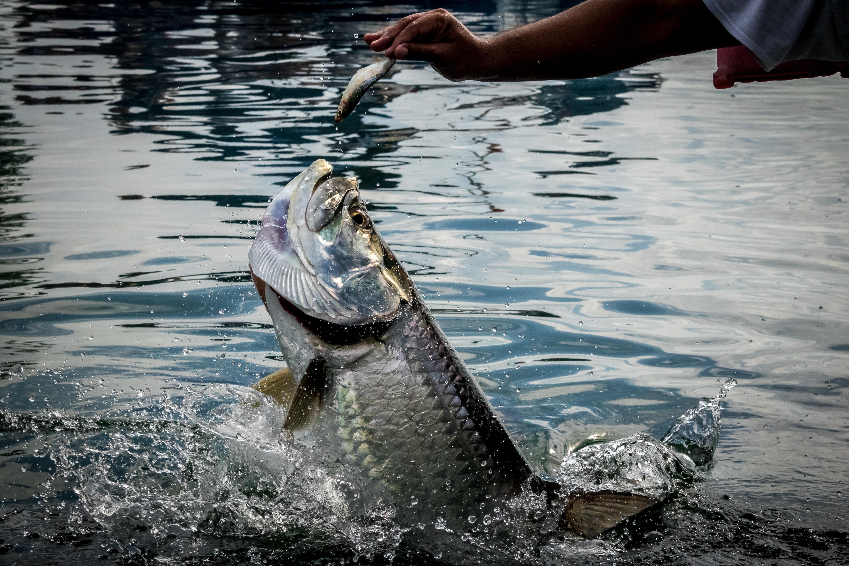 tarpon fishing in belize