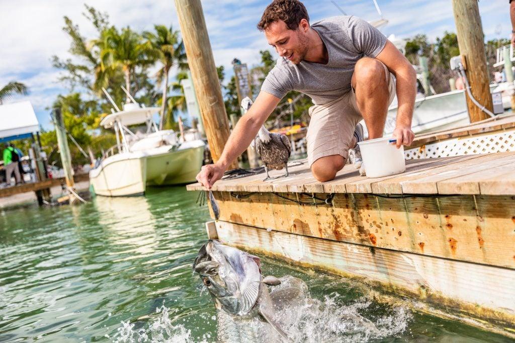 A man feeding a Tarpon from a dock in Islamorada, FL