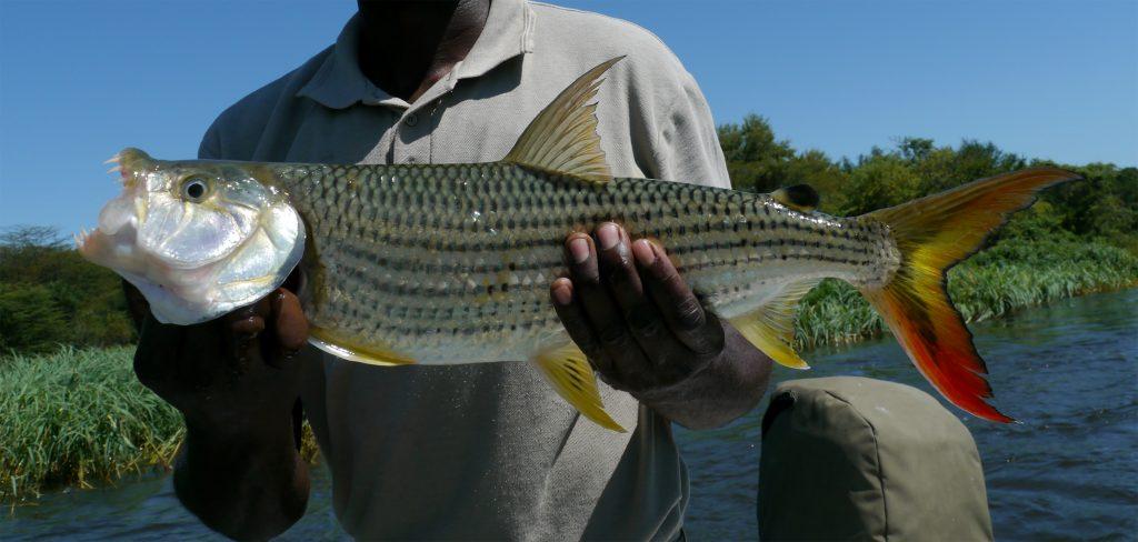 angler holding a big tigerfish in tanzania