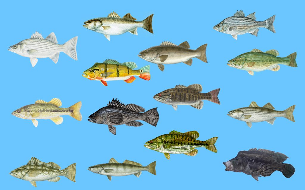 Illustrations of the various types of Bass in North America on a blue background