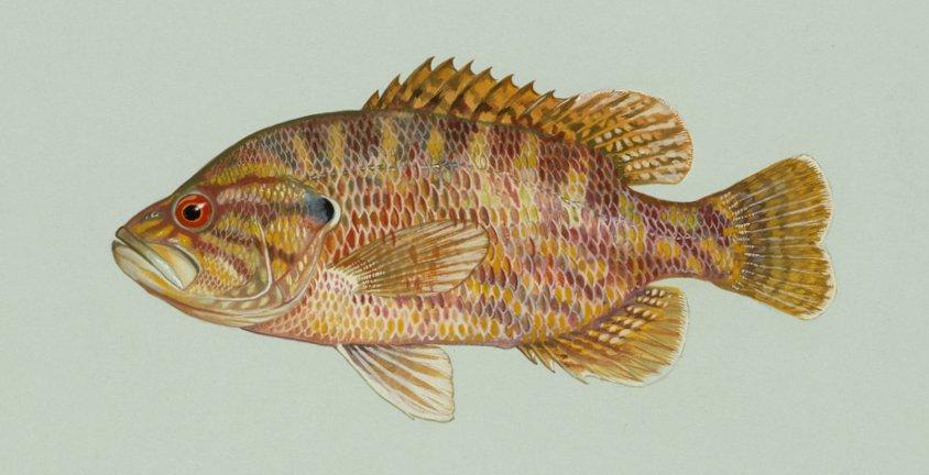 a warmouth sunfish