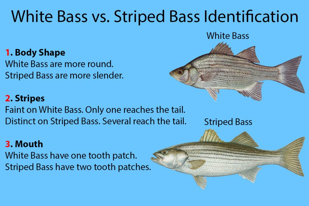 """An infographic explaining for to identify White Bass vs. Striped Bass. There is a White Bass on the right, with a Striped Bass below it. On the left, text reads """"1. Body Shape: White Bass are more round. Striped Bass are more slender."""" """" 2. Stripes: Faint on White Bass. Only one reaches the tail. Distinct on Striped Bass. Several reach the tail."""" """"3. Mouth: White Bass have one tooth patch. Striped Bass have two tooth patches."""""""