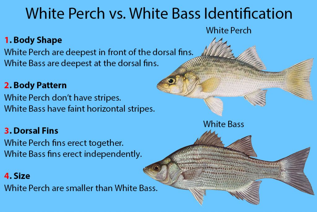 """A graphic explaining the how to identify White Perch vs White Bass. On the right, there is an illustration of a White Perch, with a White Bass beneath it. On the left, text reads """"1. Body Shape: White Perch are deepest in front of the dorsal fins. White Bass are deepest at the dorsal fins."""" """"2. Body Pattern: White Perch don't have stripes. White Bass have faint horizontal stripes."""" """"3. Dorsal Fins: White Perch fins erect together. White Bass fins erect independently."""" """"4. Size: White Perch are smaller than White Bass."""""""