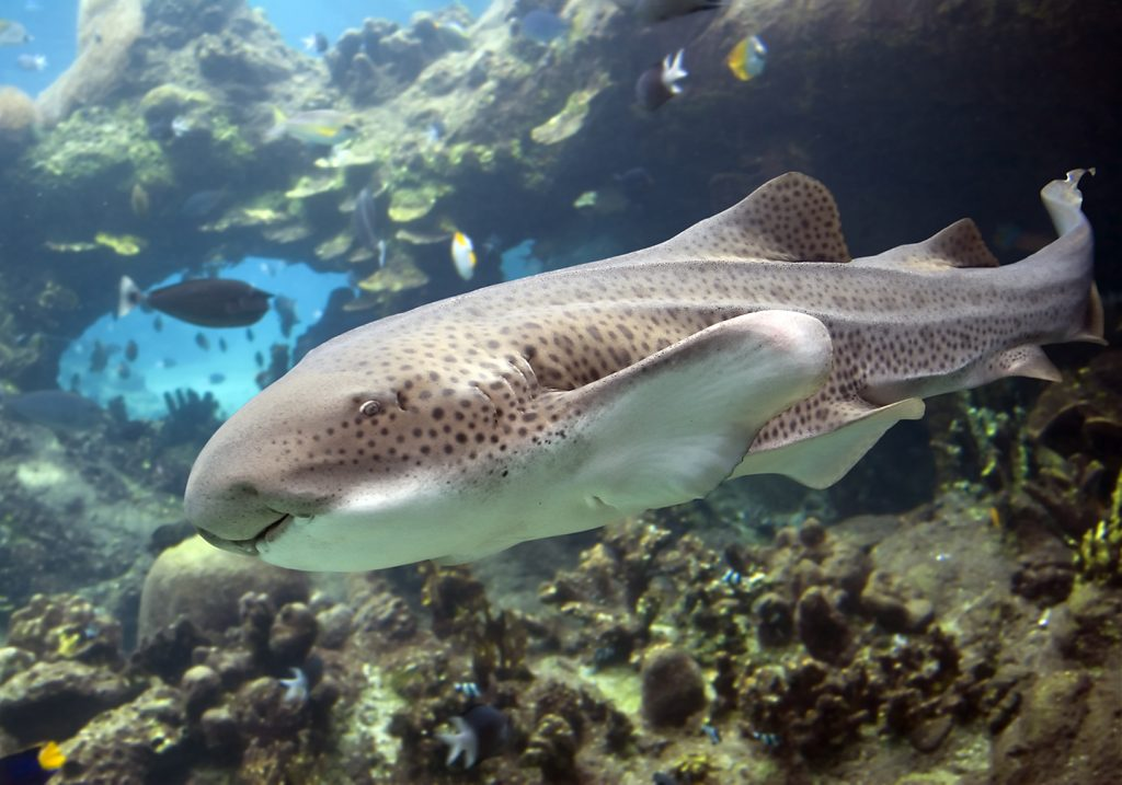 A Zebra Shark swimming around a reef, with smaller fish in the background