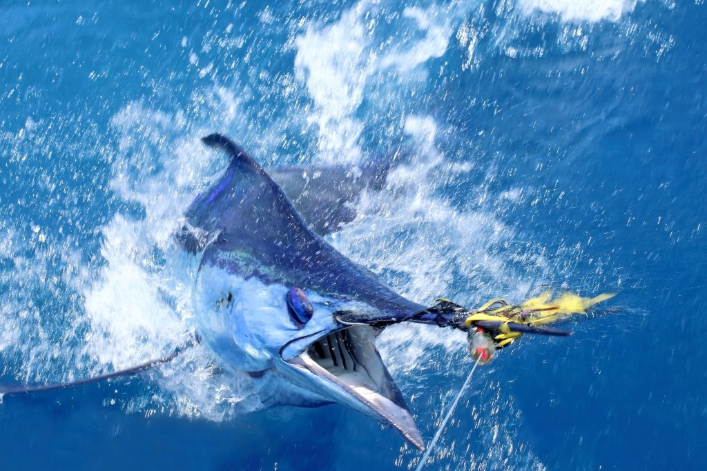 a marlin hooked on a fishing lure