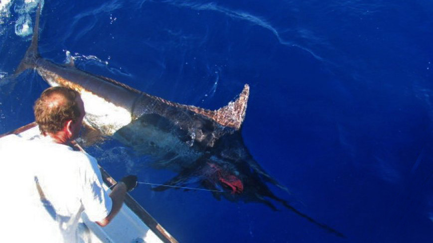 Blue marlin hooked & released by Oceanturs Charters Azores