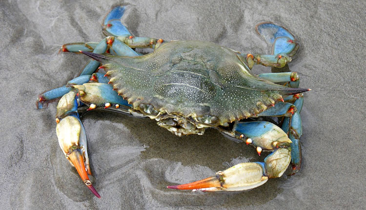 A Blue Crab on wet sand. Blue Crabs are one of the best baits for catching Cobia in Florida.