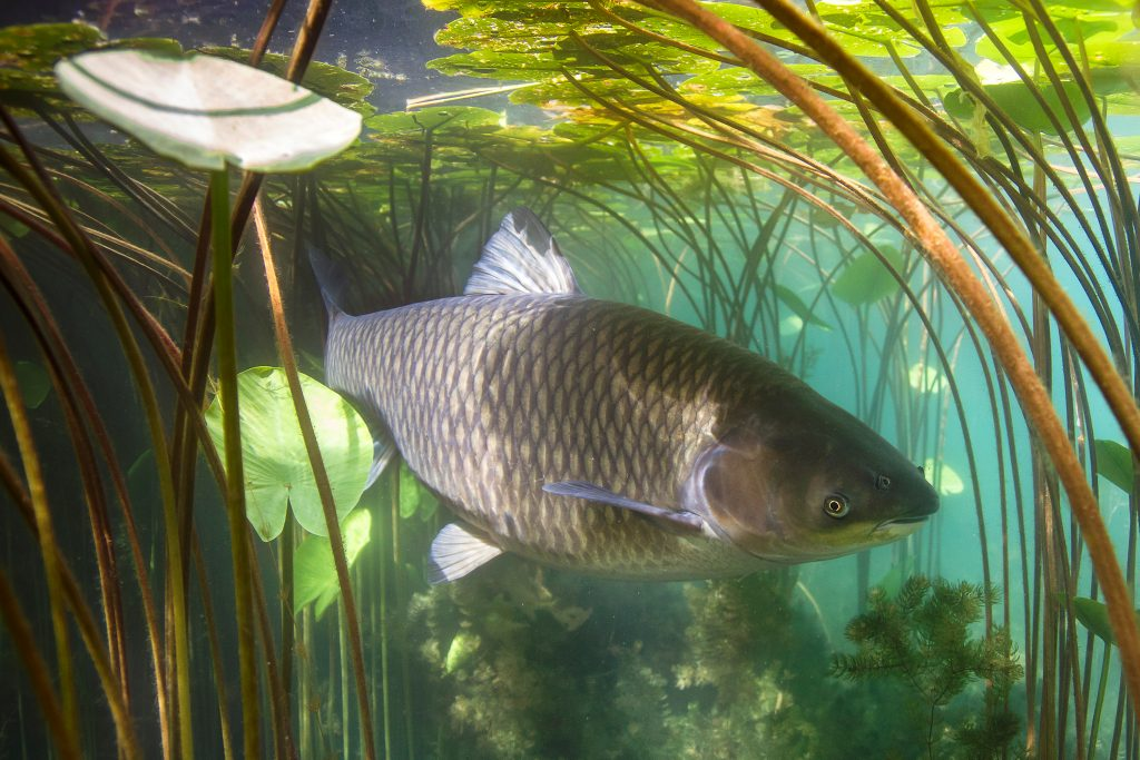 a carp underwater, carp are one of the most common bowfishing catches