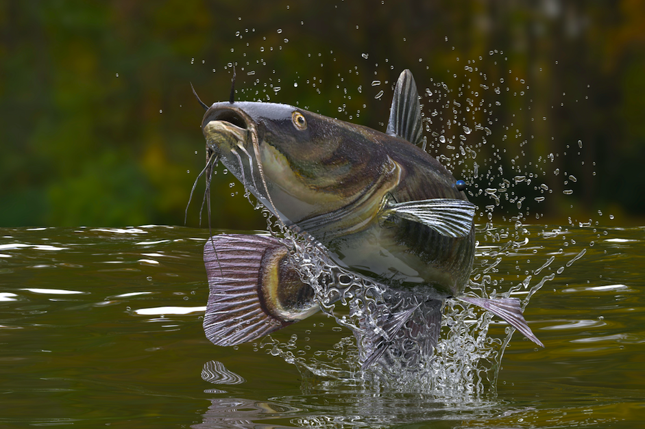 Catfish jumping out of the water