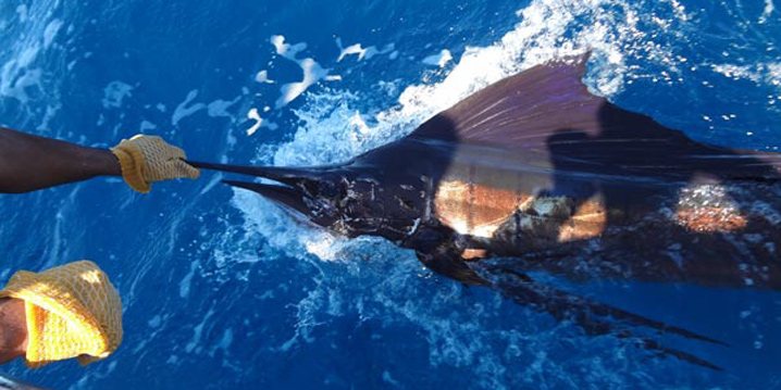 A Sailfish being held out of the water before being safely released.