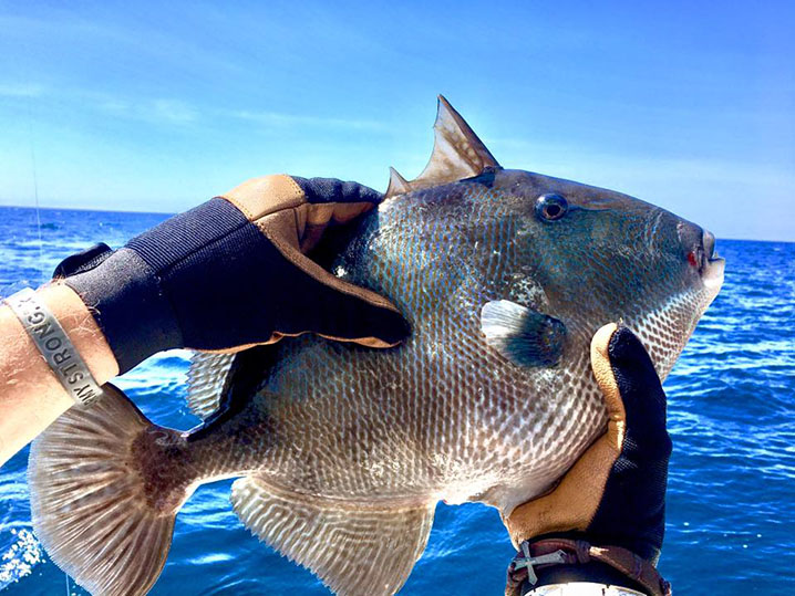 A triggerfish being held by an angler wearing gloves with blue water and sky behind them