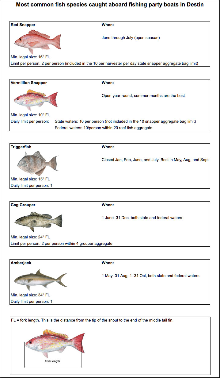 A diagram showing most common fish species caught aboard party boats in Destin, including Red Snapper, Vermillion Snapper, Triggerfish, Gag Grouper, and Amberjack, as well as info on size, daily limits, and how to measure fork length.