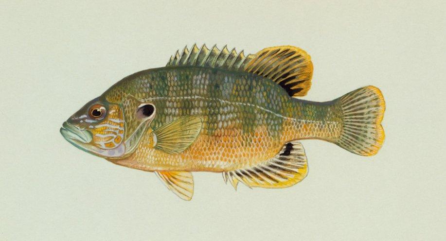 a green sunfish